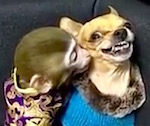 Thumbnail image for When Chihuahuas go bad: Puppy vs monkey (video)